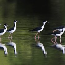 La actividad humana fuerza animales a alejarse de su hábitat para sobrevivir