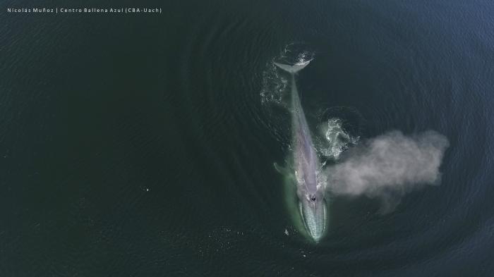 Población de ballenas azules, en peligro de extinción, corren serio riesgo en el sur de Chile por intenso tráfico de naves pesqueras