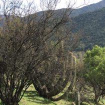 Cooperación entre plantas ayuda a la  sobrevivencia en nuestra Cordillera