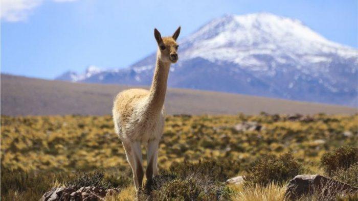 El superfertilizante natural que le permitió a una civilización preincaica prosperar en el árido desierto de Atacama en Chile