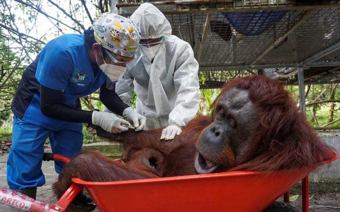 Simios de un zoológico de EEUU son los primeros animales en recibir vacuna anticovid