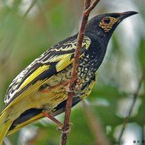 Un pájaro en peligro de extinción se está olvidando del canto que usa para procrear
