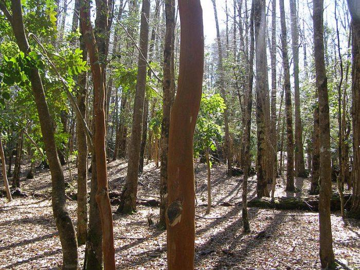 +Bosques, el ambicioso proyecto que rescata el bosque nativo en seis regiones del país
