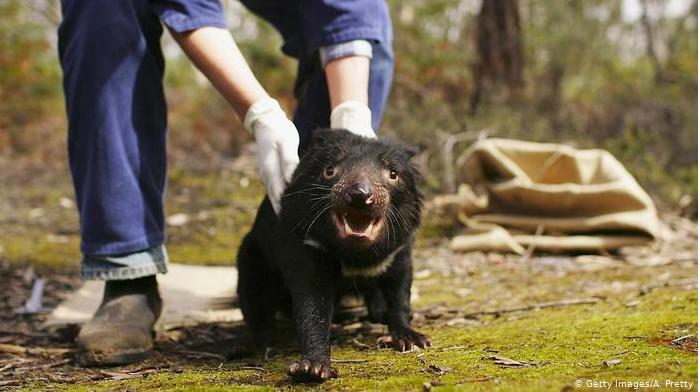 El demonio de Tasmania regresa a Australia continental por primera vez en 3.000 años