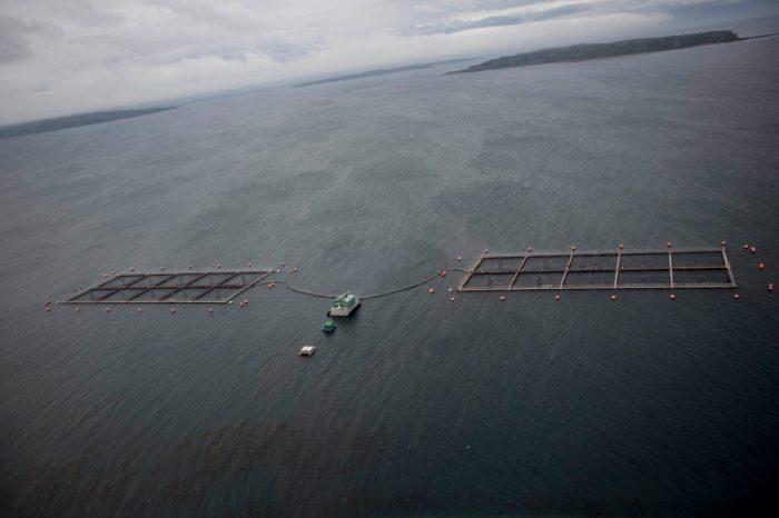 """Consternación por """"marea café"""" que provoca muerte masiva de salmones y desastre ambiental en Aysén y Los Lagos"""