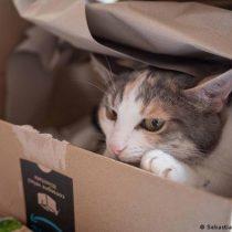 Por qué a los gatos les encanta sentarse en cajas, incluso falsas, según la ciencia