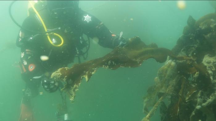 Potencial amenaza a biodiversidad por alga japonesa enciende alarma en Calbuco