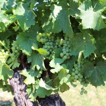 Día del Chardonnay: cuáles son las características de uno de los vinos blancos más reconocidos del mundo