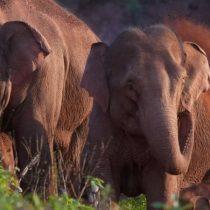 Los misterios del inesperado y mastodóntico viaje de una manada de elefantes en China
