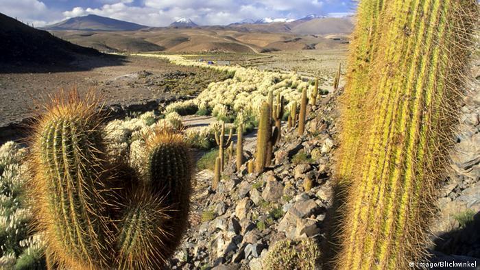 Descubren en Italia más de mil cactus raros extraídos ilegalmente de Chile
