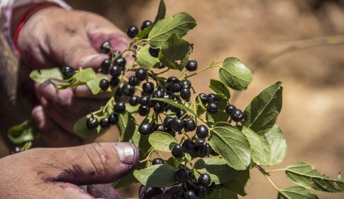 Maqui: el alimento tradicional también puede producirse en la zona centro
