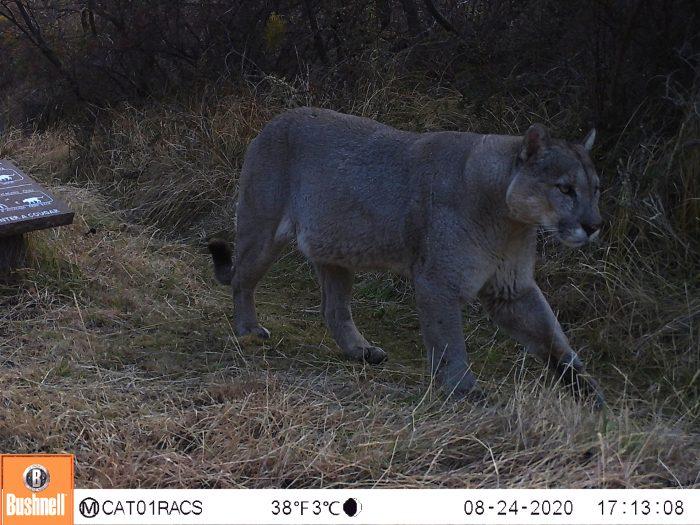 Monitorean con cámaras trampa la interacción de pumas en áreas de uso público en el Parque Nacional Patagonia