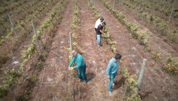 El esfuerzo y dedicación de viñateros emergentes que buscan posicionar los vinos de La Araucanía en Chile y el mundo
