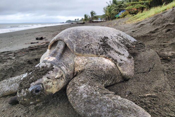 Siete países se unirán en proyecto chileno que busca estudiar la basura para la conservación de las tortugas marinas en América Latina