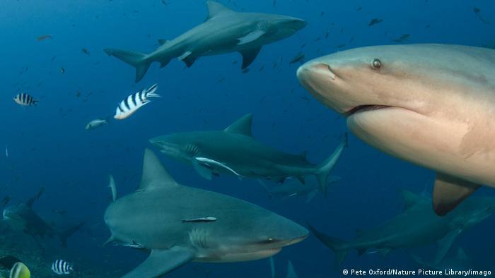 Los tiburones toro son capaces de establecer
