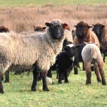Estudio pretende determinar el nivel de contaminantes que podrían afectar la inocuidad en la carne ovina del sur de Chile