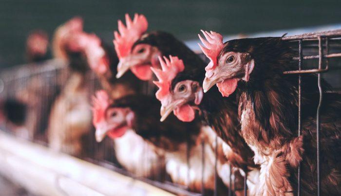 Comisión Europea determina que la producción animal en jaulas debe acabar