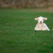 El coraje de los corderos y la temeridad de desafiar alplaneta