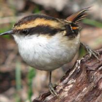 Estudian estrés en aves de los bosques chilenos