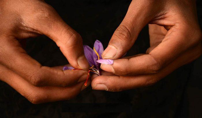 Azafrán cosechado por familias mapuche inicia su proceso de comercialización