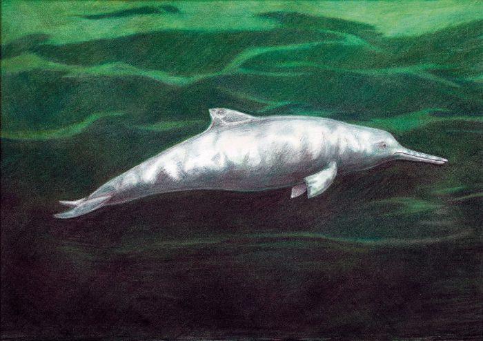 Descrubren una nueva especie de delfín que vivió hace 7 millones de años
