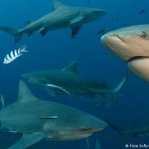 Casi 40% de las especies de tiburones están en peligro de extinción