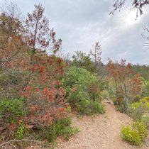 Cambio climático: bosques de cipreses en riesgo por insectos e inminentes incendios