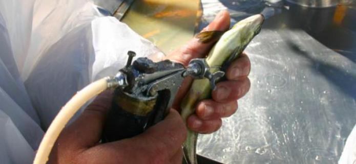 Salmonicultura, resistencia a antibióticos y nueva Constitución